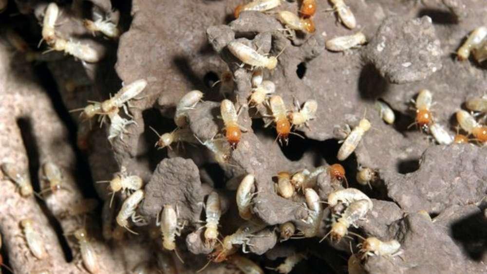 Что делать, если термиты появились в вашем доме? как избавиться от термитов: только работающие способы как бороться с термитами на даче.