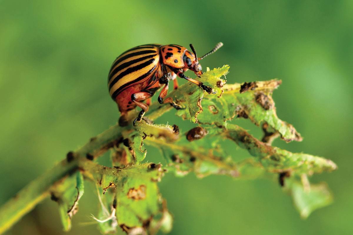 Народные способы борьбы с колорадским жуком | рутвет - найдёт ответ!