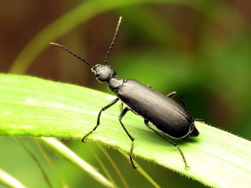 Черный жук шпанка – как бороться с насекомым, его фото и описание