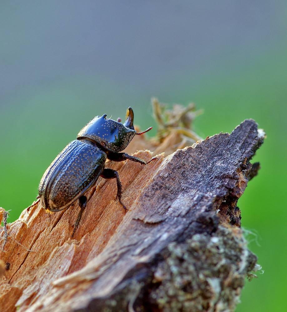 Основные признаки жуков как отдельного вида насекомых
