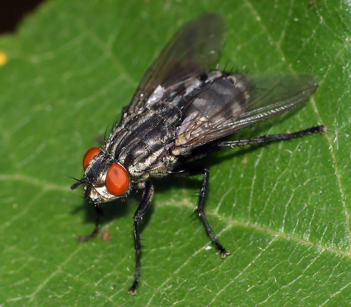 Серые мясные мухи - твой доктор