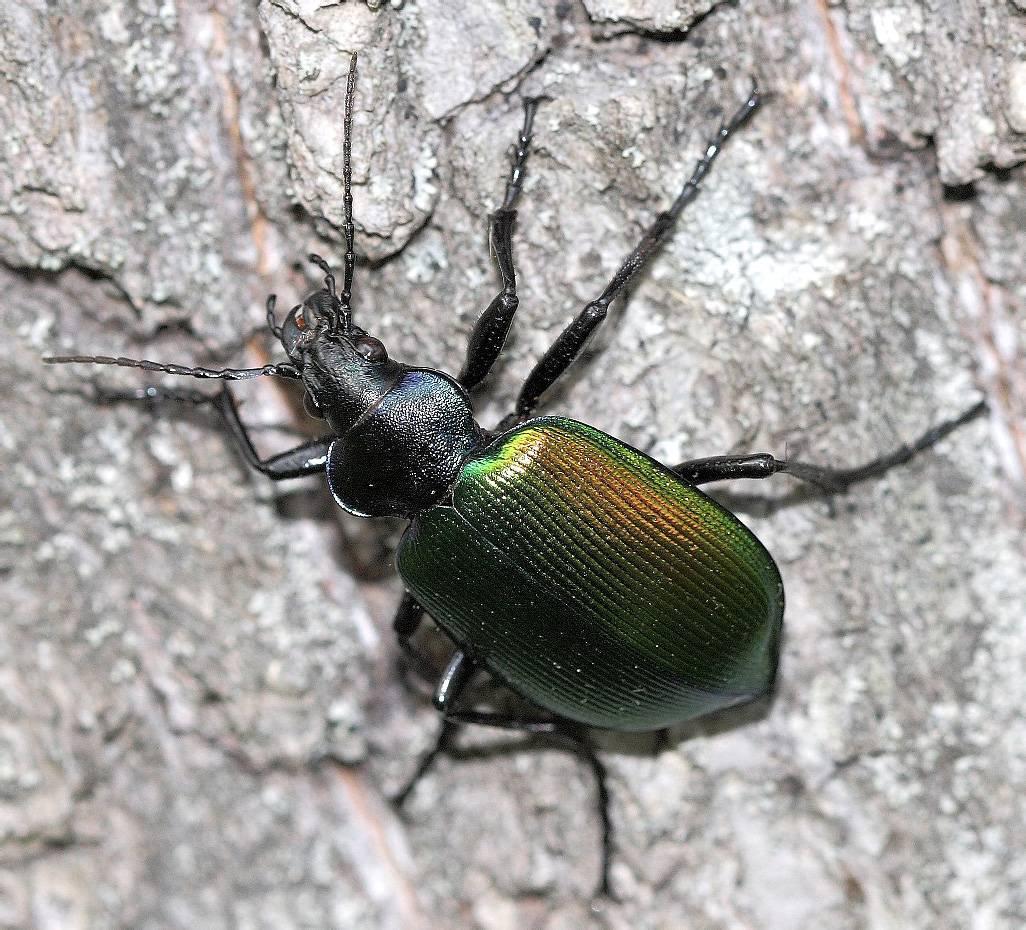 Гусеница павлиний глаз - фото и описание