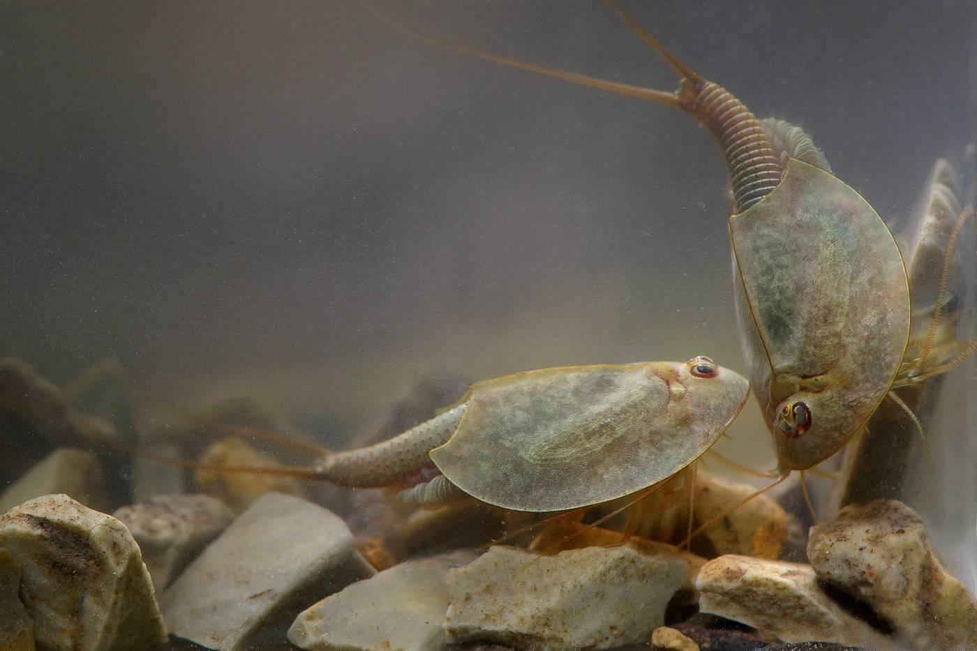 Щитень аквариумный - рекомендации по содержанию и размножению