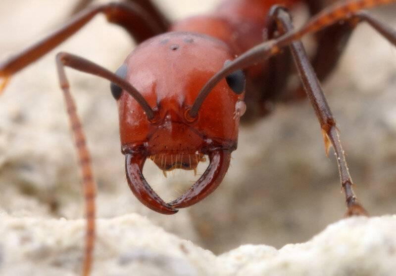 Стрекозы против муравьёв — posmotre.li