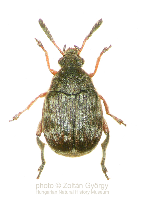 Как избавиться от жуков в фасоли: как правильно вывести