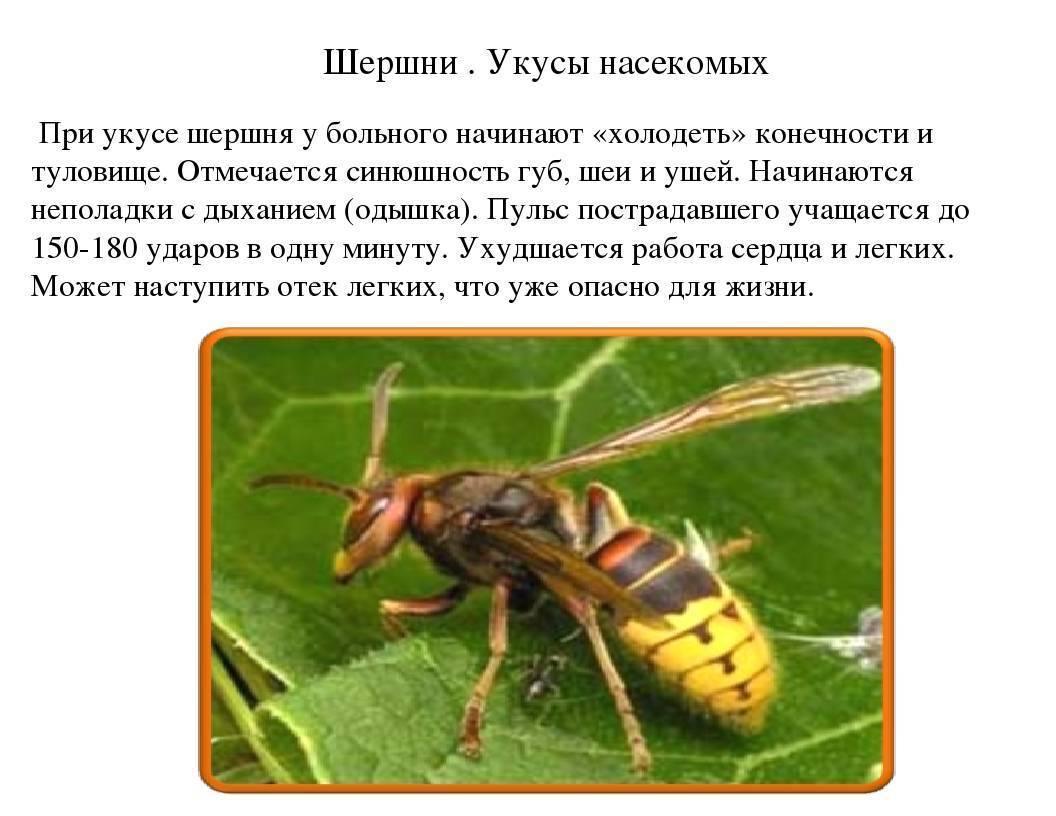 Разница между осой, пчелой, шершнем и шмелём