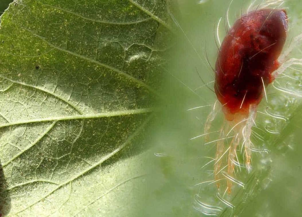 Паутинный клещ на комнатных растениях: фото, описание, чем опасен, эффективные средства борьбы
