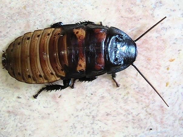 Таракан туркменский (blatta lateralis)   клуб любителей муравьев