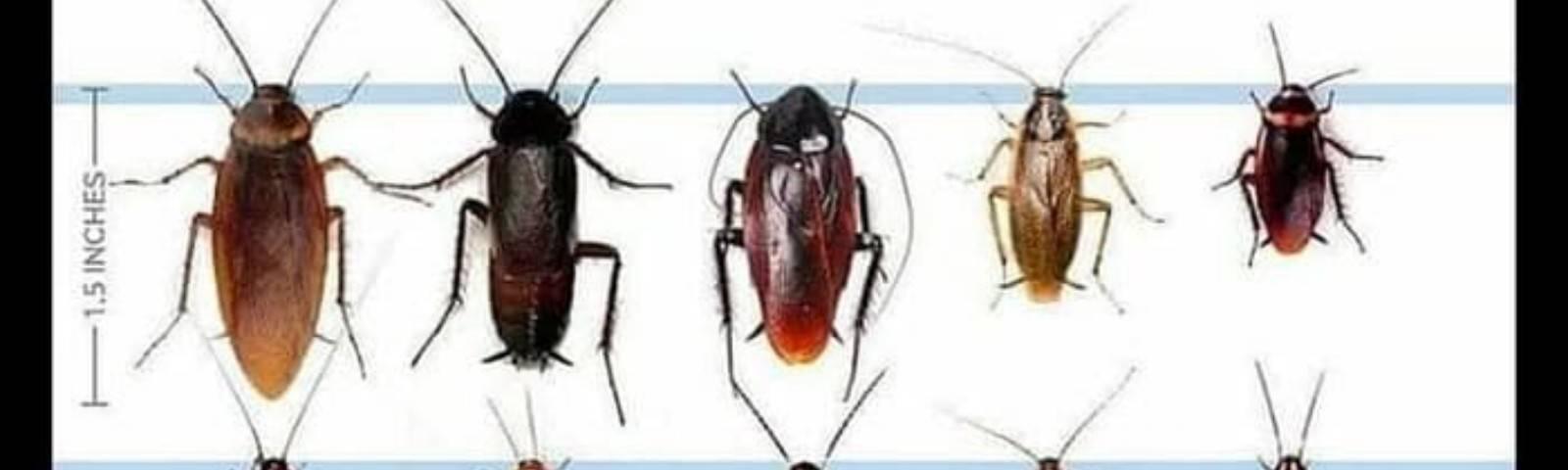 Чего боятся тараканы в квартире и какой запах отпугивает тараканов