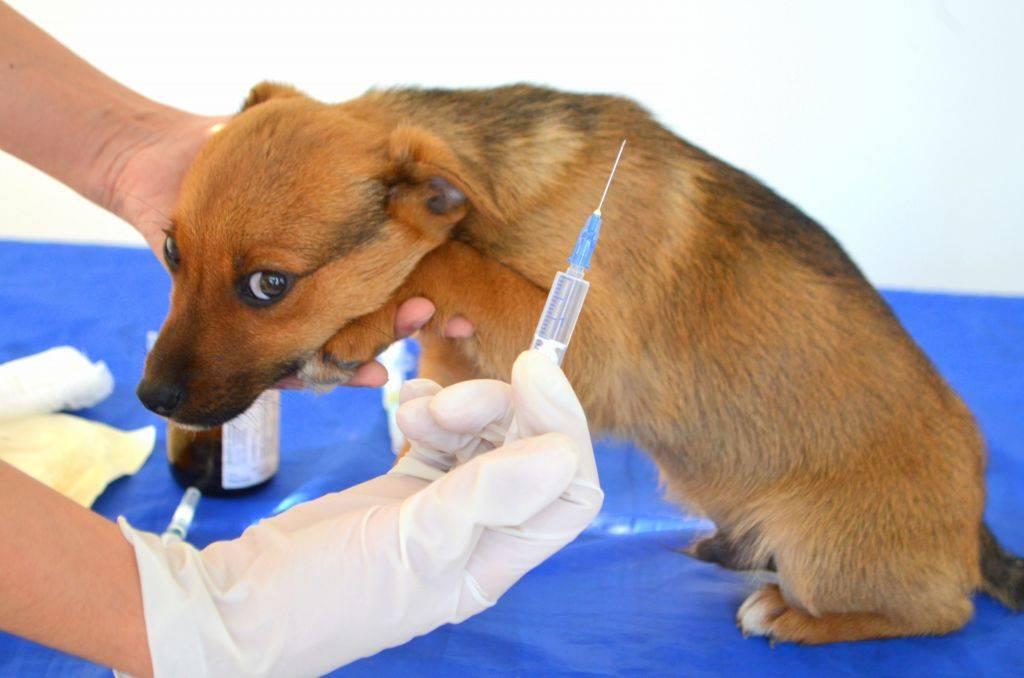 Как сделать укол собаке самостоятельно: пошаговая инструкция