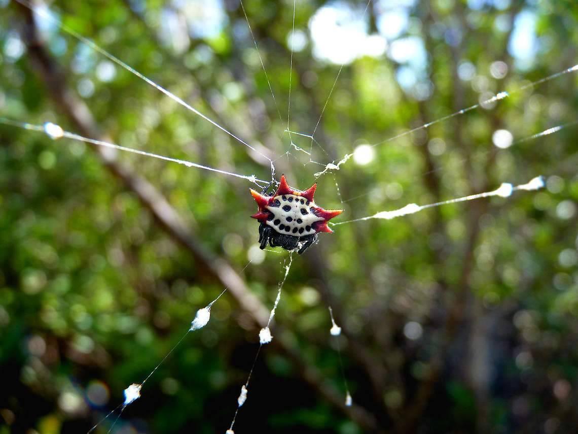 Шипастый паук кругопряд - животные питомцы