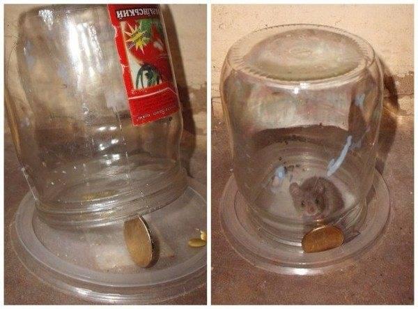 Ловушка для мышей из пластиковой бутылки и банки: как сделать своими руками