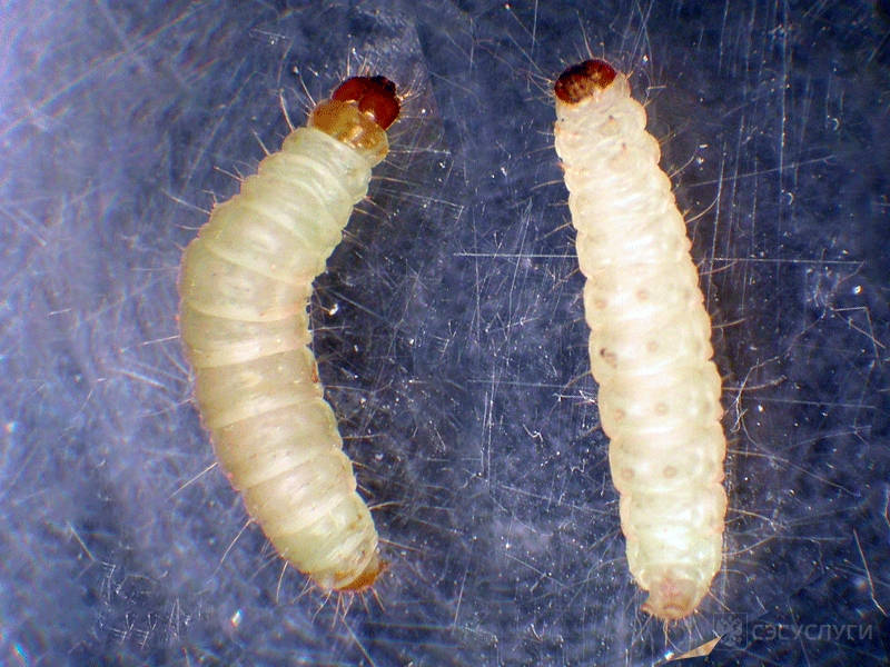 Как выглядят личинки моли на фото