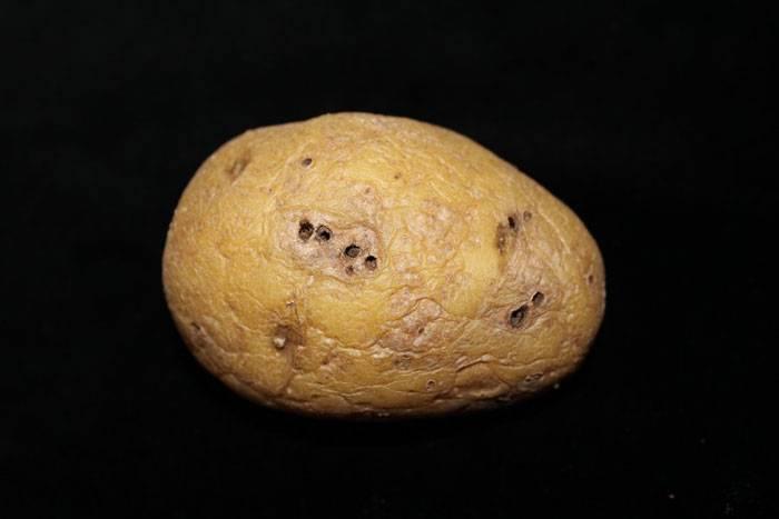 Как ведется борьба с проволочником картофеля осенью