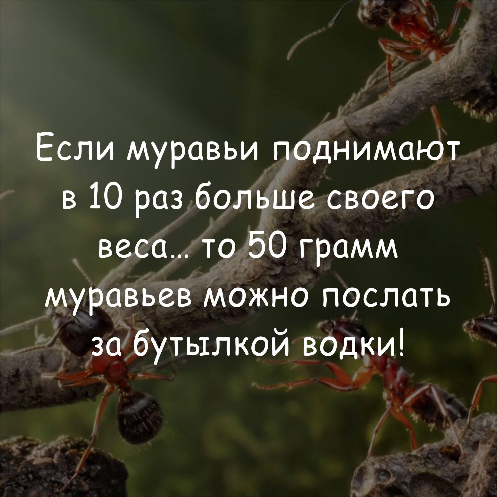 Сколько может поднять муравей. какой вес могут поднять муравьи? сколько весит матка