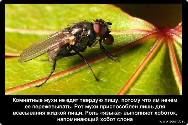 Сколько живут мухи и почему они потирают лапки