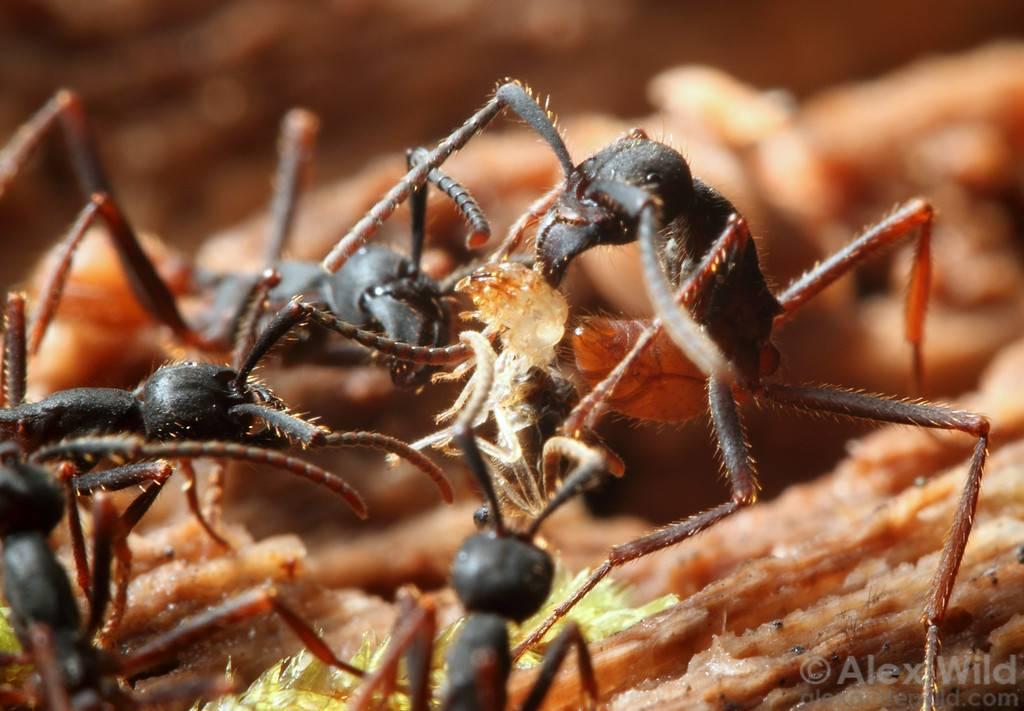 Зачем в бразильском племени сатере-маве надевают перчатки, наполненные муравьями
