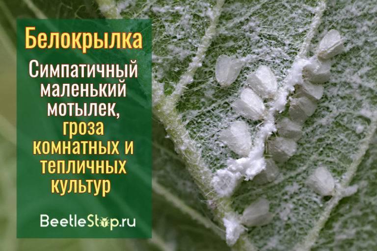 Мелкие белые мошки на растениях— что за напасть?