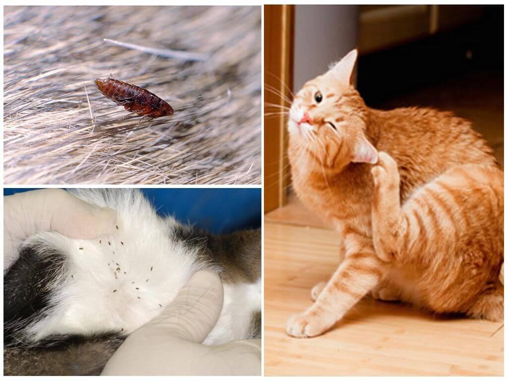 Постельные блохи, как избавиться от бельевых паразитов в домашних условиях + фото