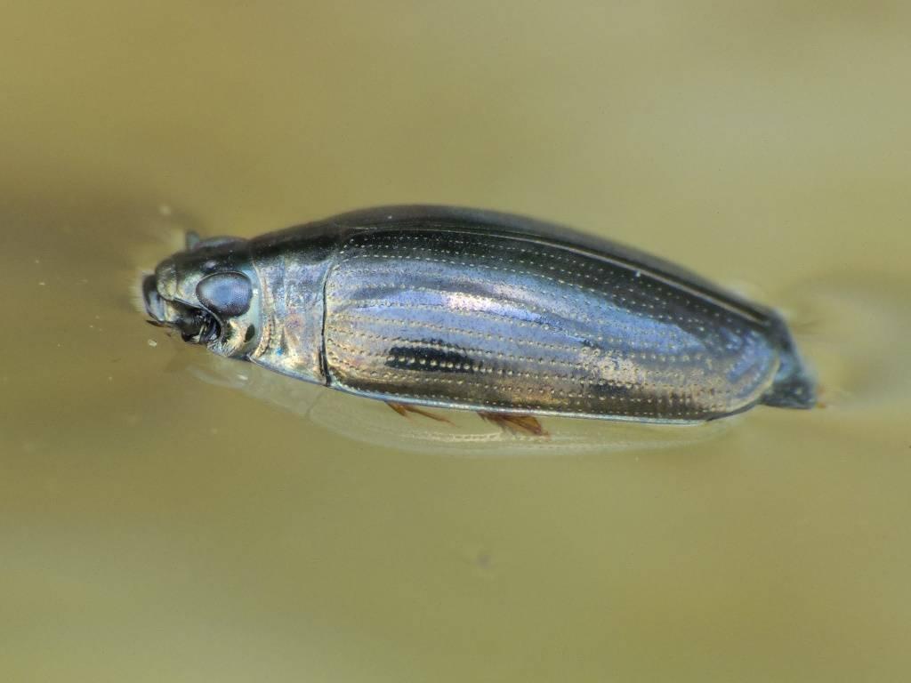 Водные жуки: плавунец, вертячка, плавунчик и другие