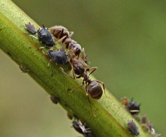 Действенные методы избавления от муравьев на смородине. как спасти смородину от муравьёв - секреты садоводов