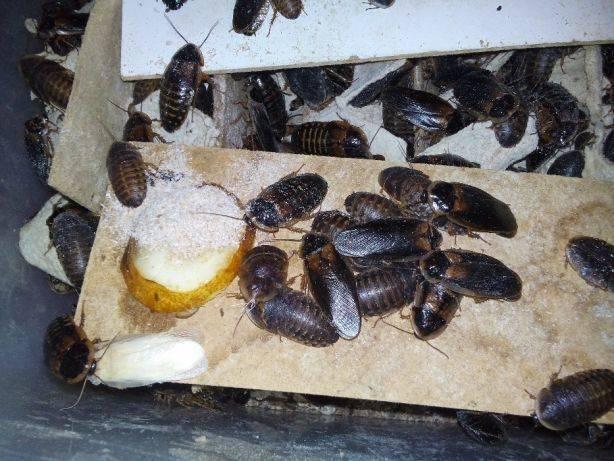 Мадагаскарские тараканы содержание и уход