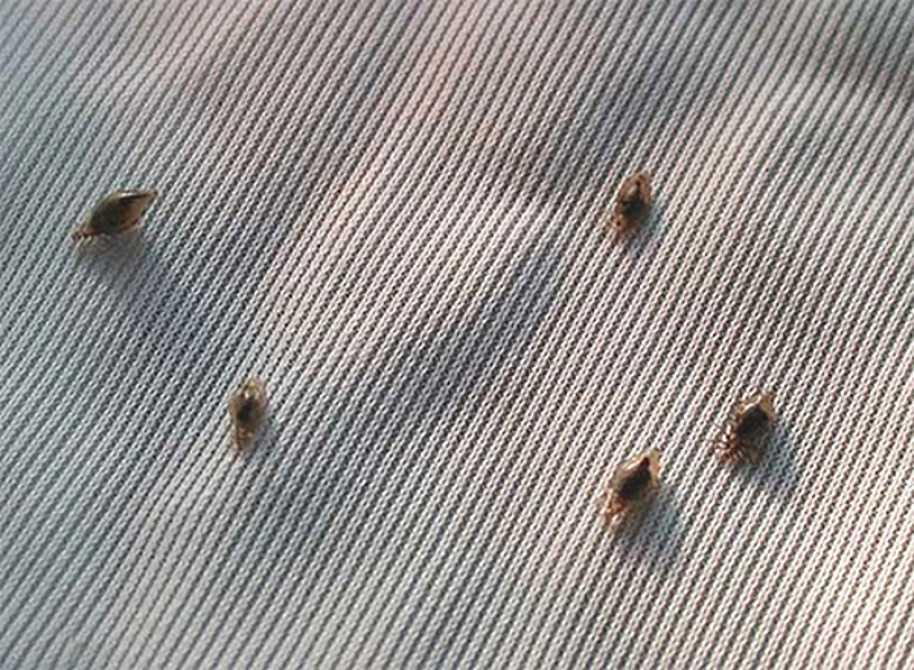 Постельные и бельевые вши – фото, описание, как избавиться в домашних условиях
