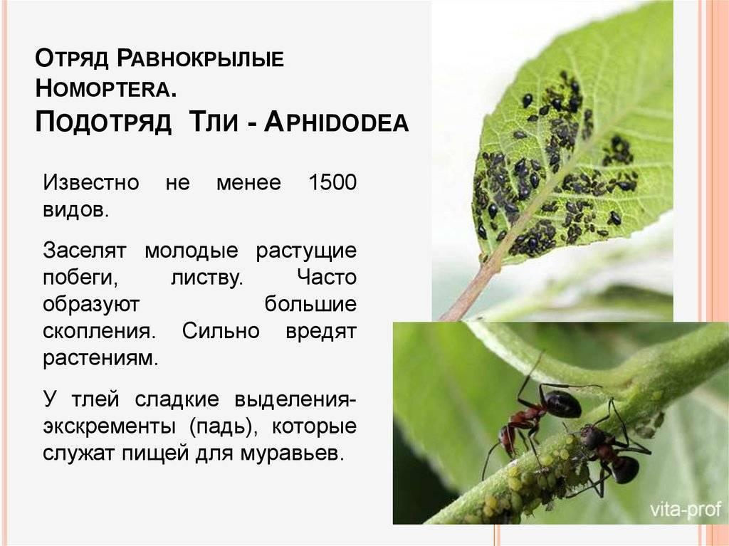 Виды тли: бахчевая тля, черная, капустная и другие из многочисленного семейства с описанием и фото русский фермер