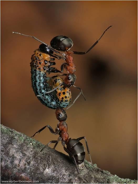 Сколько весит муравей и сколько может поднять, во сколько раз больше своей массы?