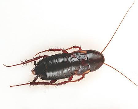 Сколько домашних тараканов вылупляется из одного яйца?