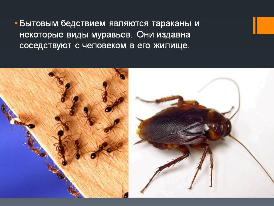Чем опасны тараканы для человека и какие болезни они переносят