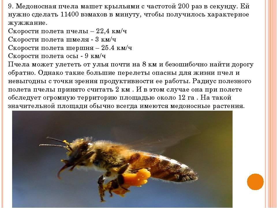Медоносные пчелы: строение тела, классификация, особенности содержания и фото