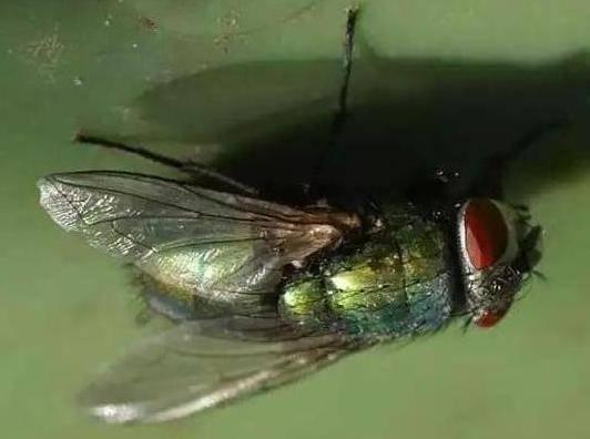 Как муха держится на потолке? как муха садится и держится на потолок ученые разобрались, почему муха не падает с потолка