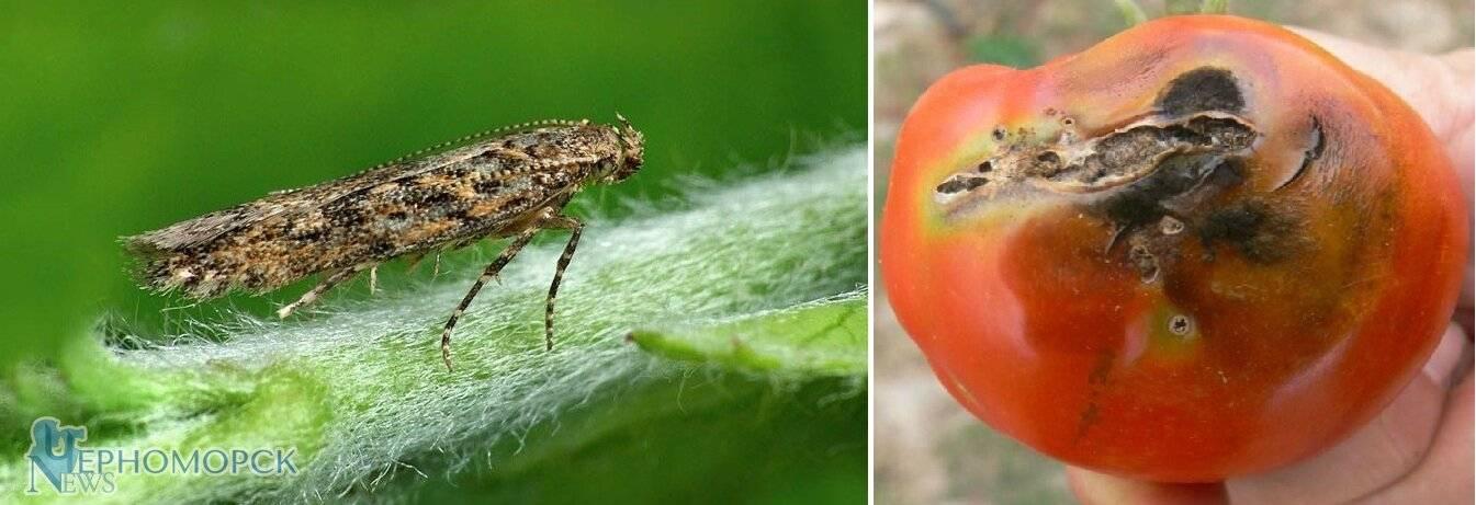 2 меры для борьбы с томатной молью (южноамериканская)