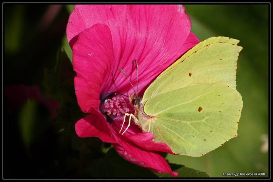 Секреты крупных насекомых: бабочка парусник