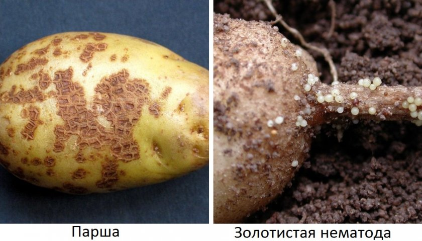 Нематода картофеля: как бороться, признаки, описание, лечение