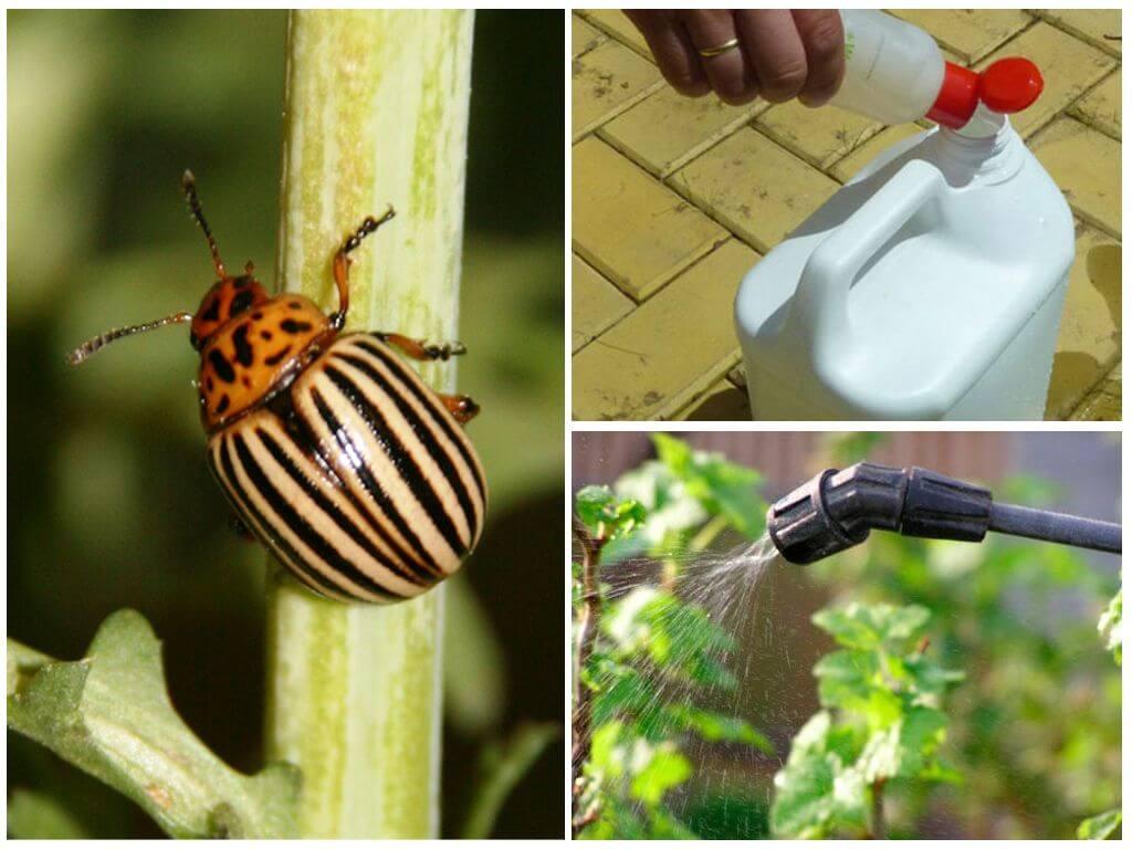 Современные и народные меры борьбы с колорадским жуком