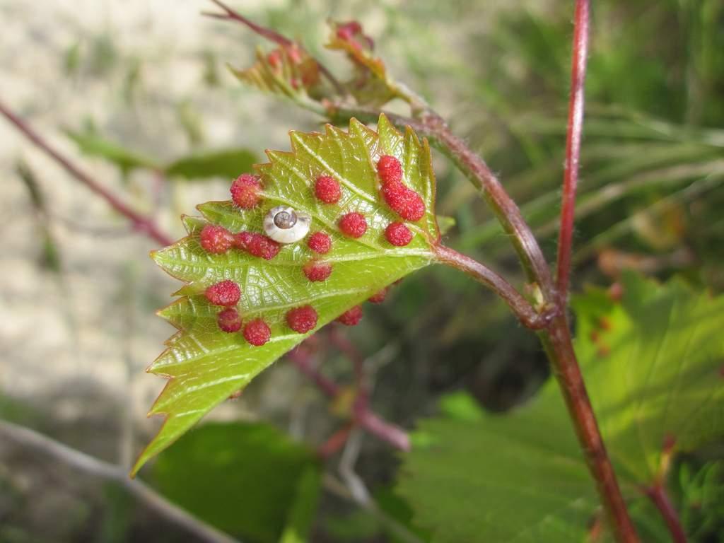 Филлоксера винограда или виноградная тля - болезни и вредители | описание, советы, отзывы, фото и видео