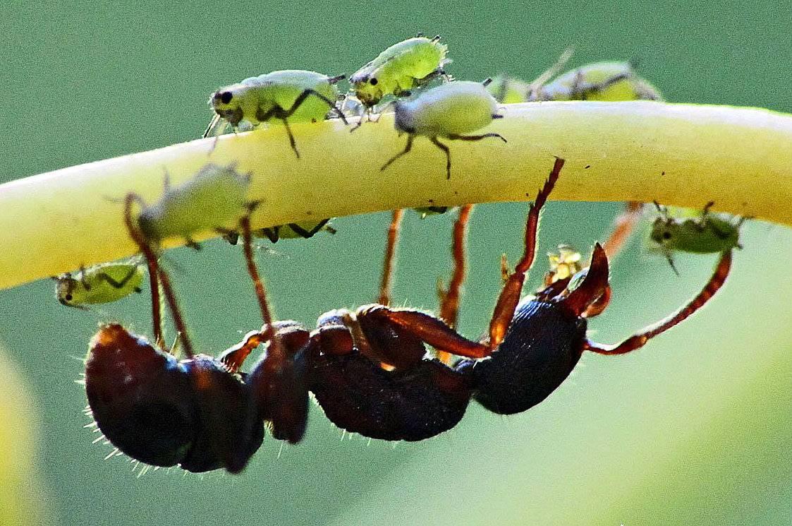 Муравьи и тля: зачем им союз, как первые доят и пасут вторых, едят ли их, почему этот тип взаимоотношений называется симбиозом, как защитить растения от насекомых? selo.guru — интернет портал о сельском хозяйстве