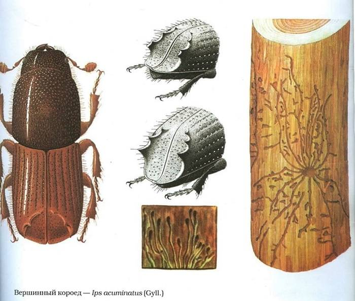 Черный еловый усач – вредитель хвойных лесов