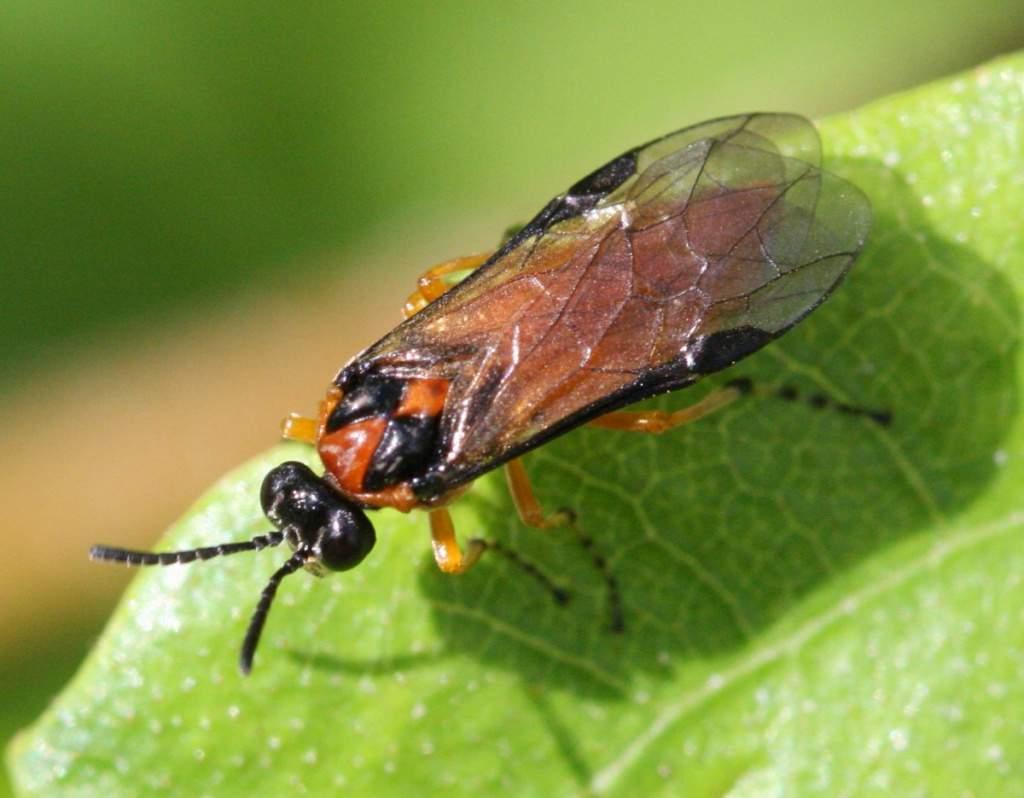 Ложнощитовка на хвойных: как быстро и эффективно избавиться от насекомого
