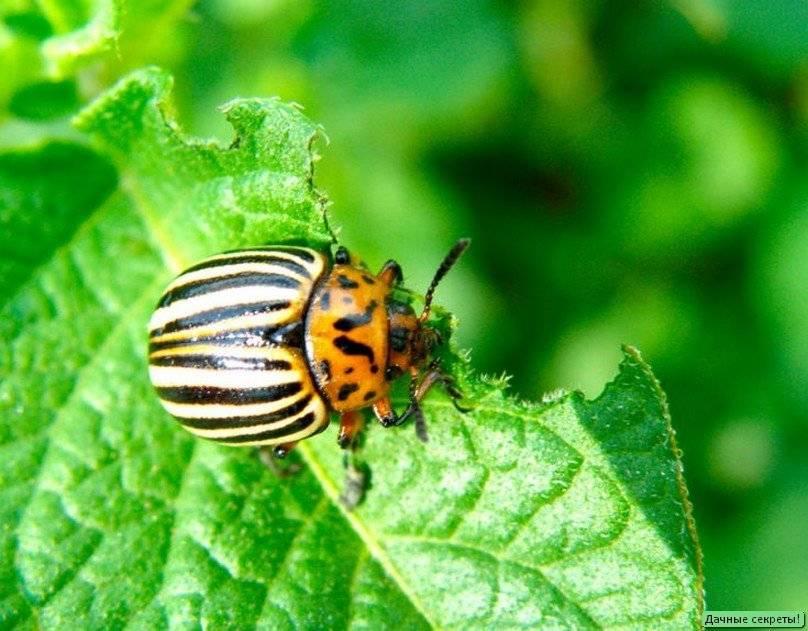 Колорадский жук: как избавится, эффективные средства