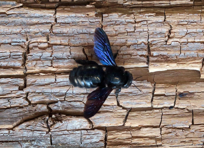 Пчела плотник: описание, образ жизни и среда обитания