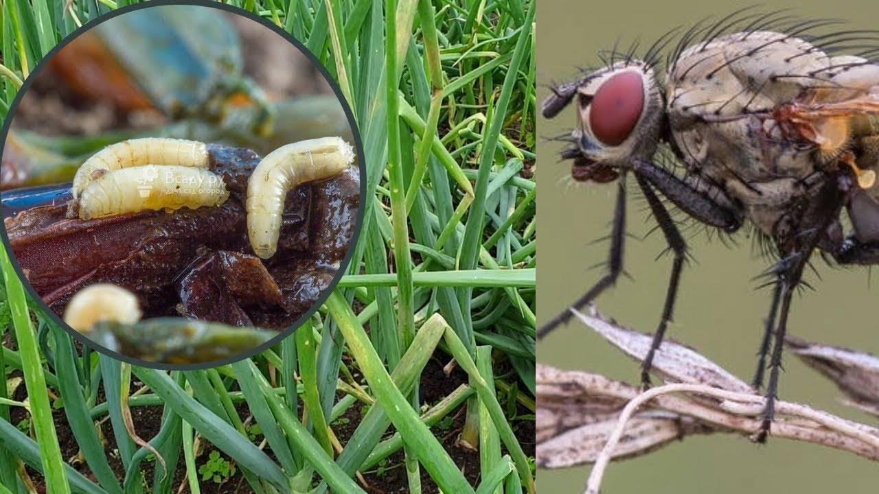 Как бороться с луковой мухой: 10 средств на скорую руку