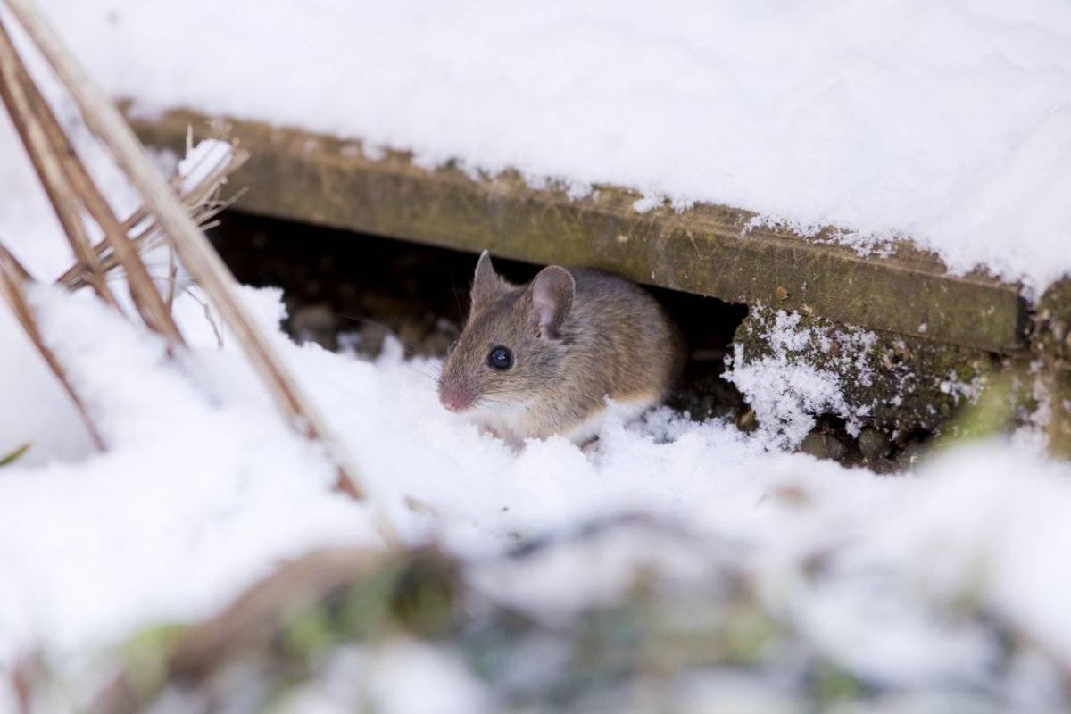 Спят ли мыши зимой, где они зимуют и как готовятся к зиме?