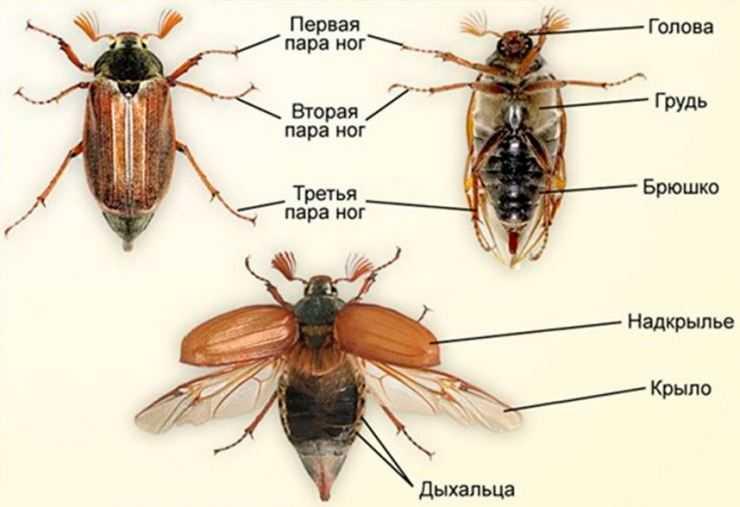 К чему снятся жуки — толкование по сонникам