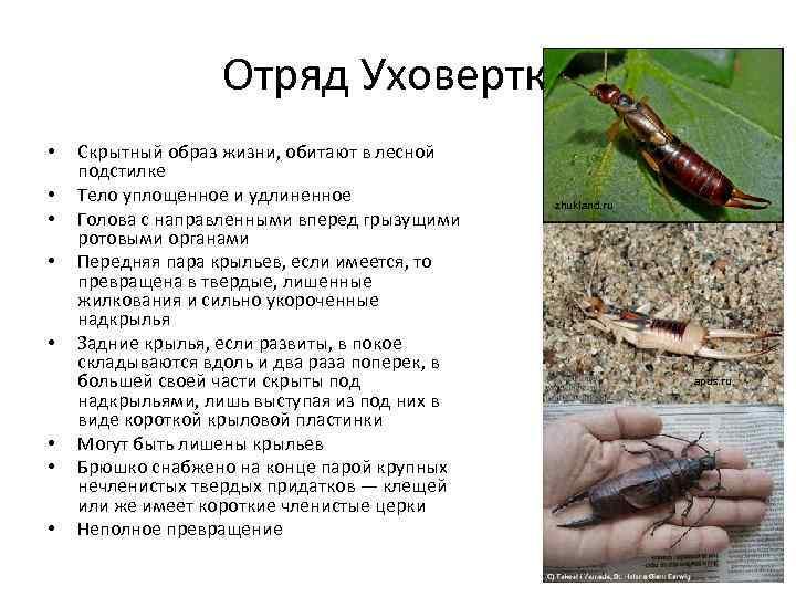 Orussus abietinus(scopoli)   оопт россии