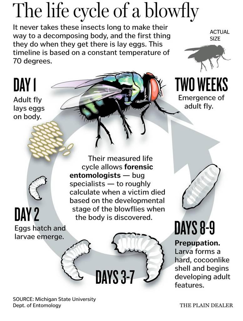 Комнатная муха — википедия