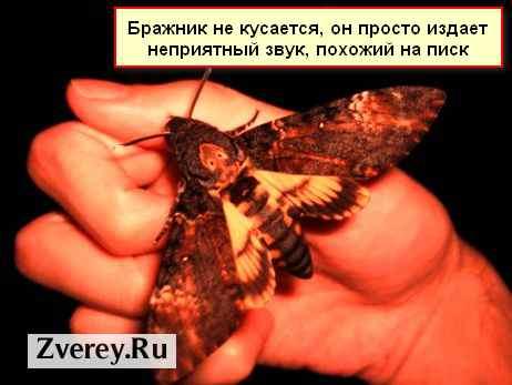 Бабочка бражник - насекомое похожее на колибри, фото и видео
