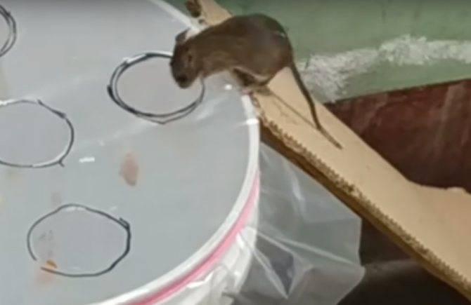 Как поймать крысу, сделать крысоловку своими руками из бутылки или другими способам, как установить, зарядить и какую приманку положить в ловушку + фото, видео